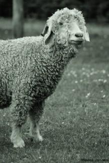 31) Curly Coat